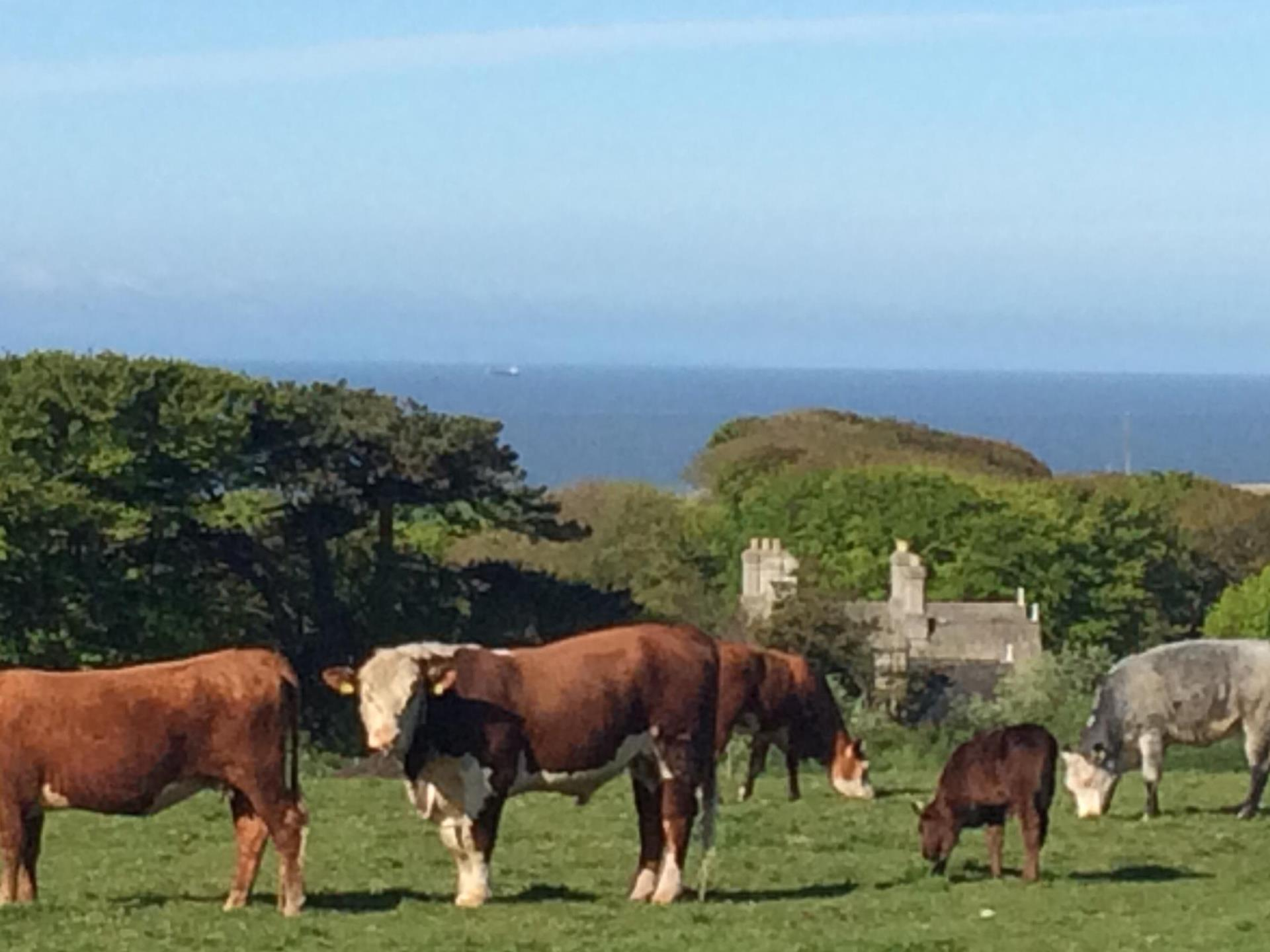 Cattle at Slade Farm