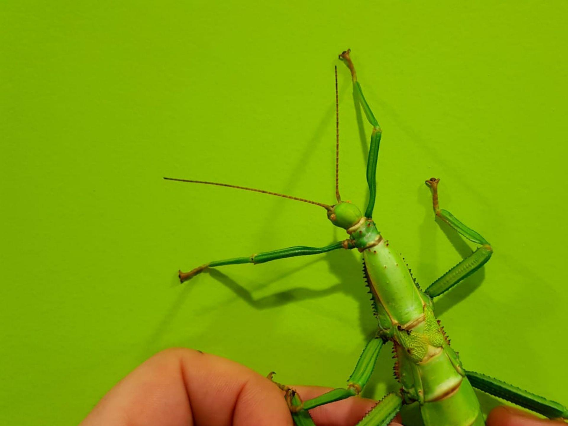 The Bug Farm green bean stick insect