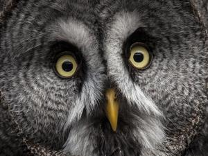 Meet the owls up close - Pewter