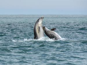 Bottlenose dolphins breaching near the boat