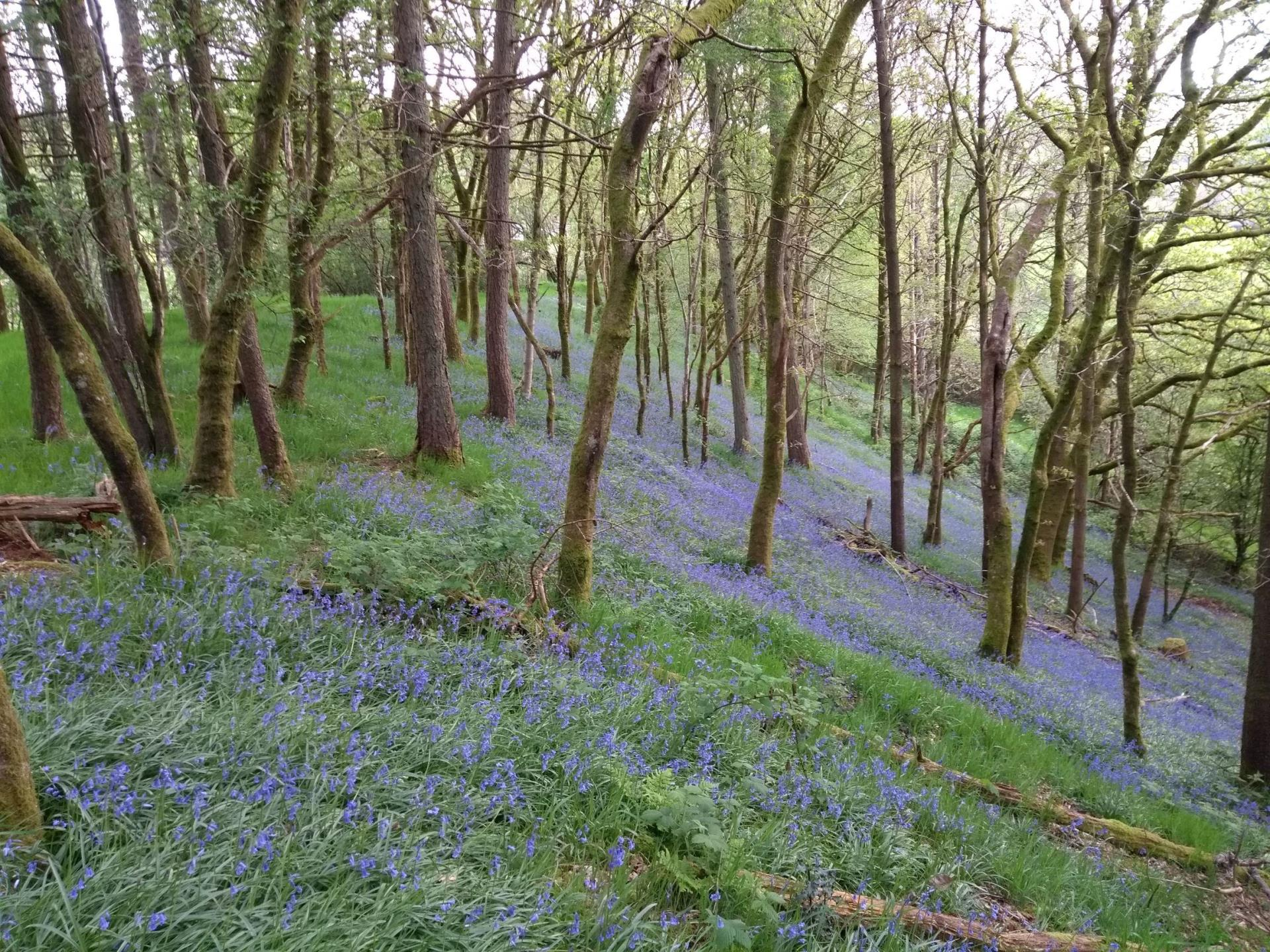 Blissful Bluebells in the Woods!